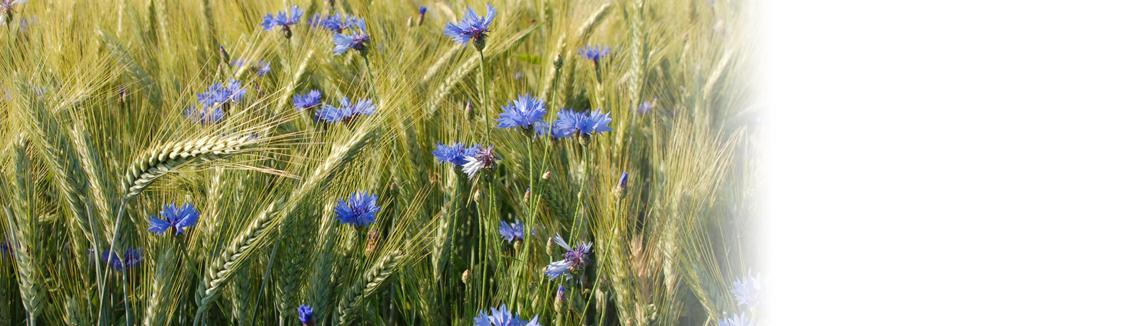 Blomsterhav av blåklint